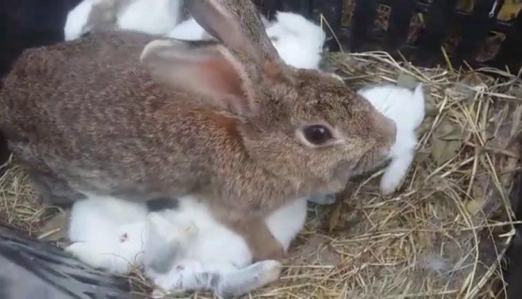 كيف نمنع هجر او افتراس الأرنبة لصغارها؟
